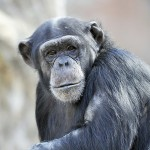 monkey portrait di Dmangus