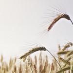 Wheat - Spighe di grano
